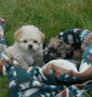 Evcil Yavru Köpek Resimleri Manzara Resimleri