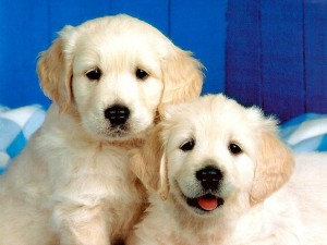 Evcil Yavru Köpek Resimleri